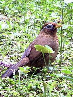 Garrulax canorus - Watching Back
