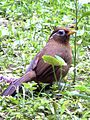 Garrulax canorus - Watching Back.jpg