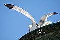 Gaviota a volar (3771903464).jpg