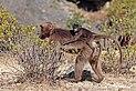Gelada (Theropithecus gelada gelada) female with baby on her back.jpg
