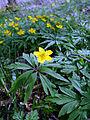 Gelbes Windröschen Anemone ranunculoides.JPG