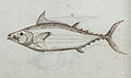 Gelderland1601-1603 Katsuwonus pelamis.jpg