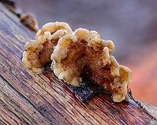 Gele korstzwam (Stereum hirsutum) 30-12-2020 (d.j.b.) 02.jpg