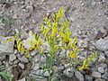 Genista sibirica (flowers) 2.jpg