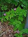 Geranium robertianum 002.JPG