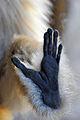 Gibbon (5465846017).jpg
