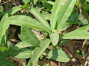 Sodium fluoroacetate - Dichapetalum cymosum