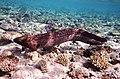 Gigantische Muräne im Roten Meer..DSCF3613ВЕ.jpg