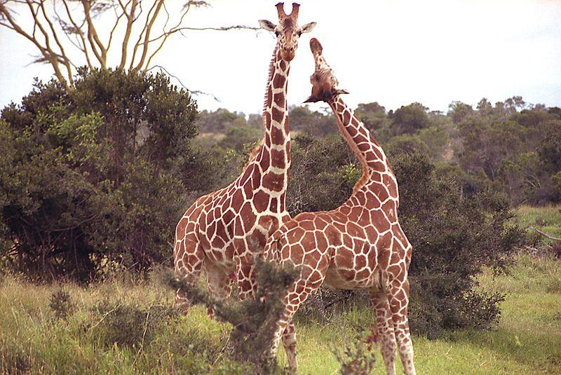 File:Giraffe Sweetwater Nat Park Kenia.jpg