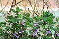 Glechoma hederacea ENBLA02.jpg