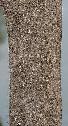 Gmelina Arborea Wikipedia