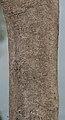 Gmelina arborea bark I IMG 3543.jpg