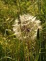 Goatsbeard, Barton tip - geograph.org.uk - 1350175.jpg