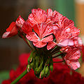 Gong roža 1.jpg