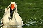 Goose - Stanborough Lakes - Explored -) (17744742696).jpg