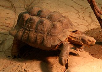 Turtle shell - A gopher tortoise showing severe pyramiding