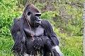 Gorilla browsing.jpg