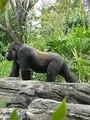 File:Gorilla gorilla gorilla2.ogv