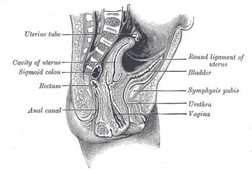 Round ligament of uterus wikiwand ccuart Gallery