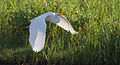 Great Egret at the Chincoteague National Wildlife Refuge by Bonnie Gruenberg.jpg