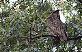 Great Horned Owl (29130314313).jpg