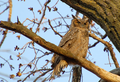 Great Horned Owl (466496289).png
