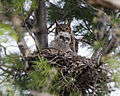 Great Horned Owls in Nest.jpg