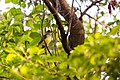 Great crested flycatcher (41572037812).jpg
