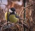 Great tit (26165031068).jpg