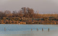 Greater Flamingos, Lido de Thau, Sète 01.jpg