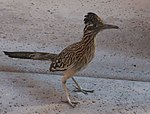 Greater Roadrunner Arizona 2.jpg
