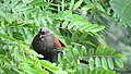 Greater coucal 05.jpg