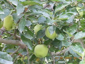 Green Apple in HP.jpg