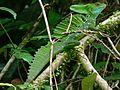 Green Basilisk (Basiliscus plumifrons) (7087152713).jpg