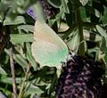 Green Hairstreak. Callophrys rubi. - Flickr - gailhampshire.jpg