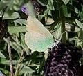Green Hairstreak. Callophrys rubi. - Flickr - gailhampshire.jpg