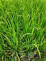 Green Rice.jpg
