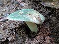 Green Russula - Flickr - treegrow.jpg