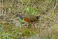 Grey-necked Wood Rail (Aramides cajanea) (28979264965).jpg