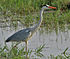 Grey Heron (Ardea cinerea) in AP W IMG 4038.jpg
