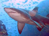 Grey Nurse Shark at Fish Rock Cave, NSW