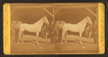 """Groom and horse """"Belle"""" of Philadelphia, from Robert N. Dennis collection of stereoscopic views.png"""
