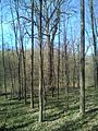 Group of 10 oak trees in Scoreni forest 12.jpg