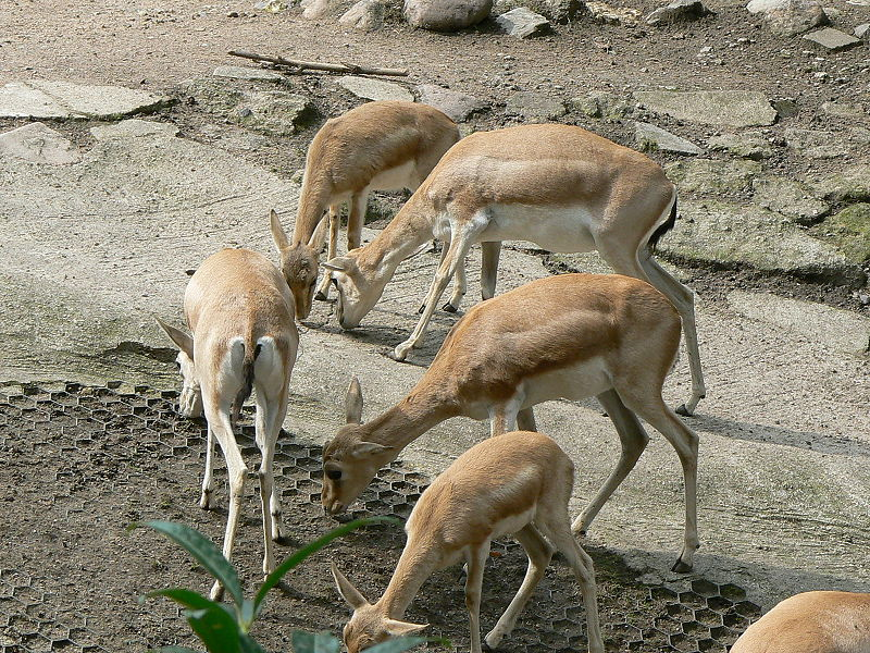 Gazelle fawns grazing
