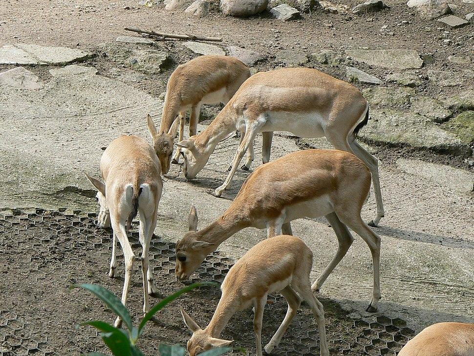Group of Gazella subgutturosa