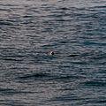 Gulf of maine whale watching 08.07.2012 22-11-06.jpg