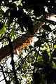 Gumbo Limbo NPSPhoto, R. Cammauf (2) (9103256806).jpg
