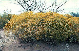 <i>Gutierrezia</i> genus of plants