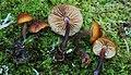 Gymnopilus bellulus (Peck) Murrill 368592.jpg