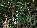 Gymnosporia rothiana (16668709343).jpg